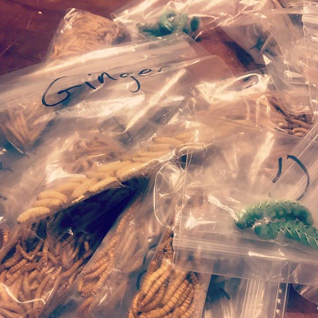 Gut Loading Mealworms, Waxworms, and Hornworms with herbs